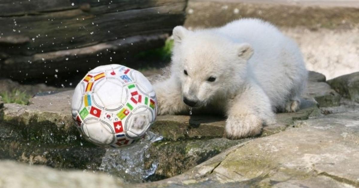 urso polar Knut filhote