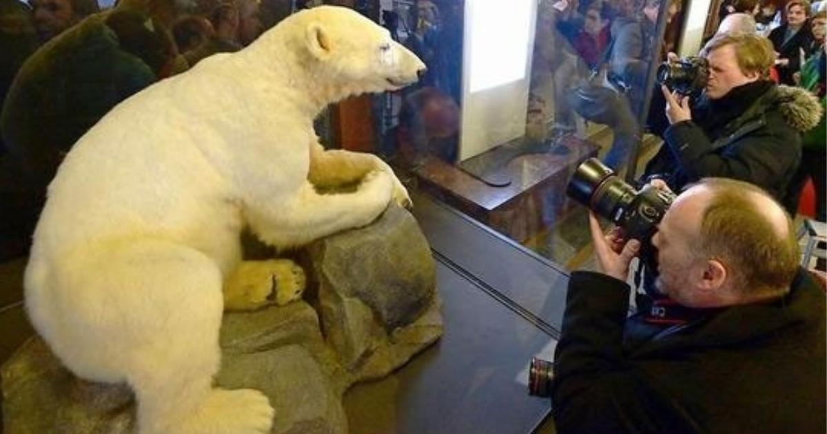 urso polar Knut empalhado