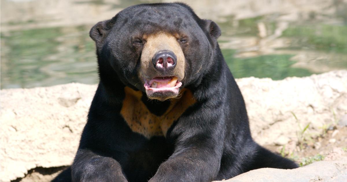 urso-malaio