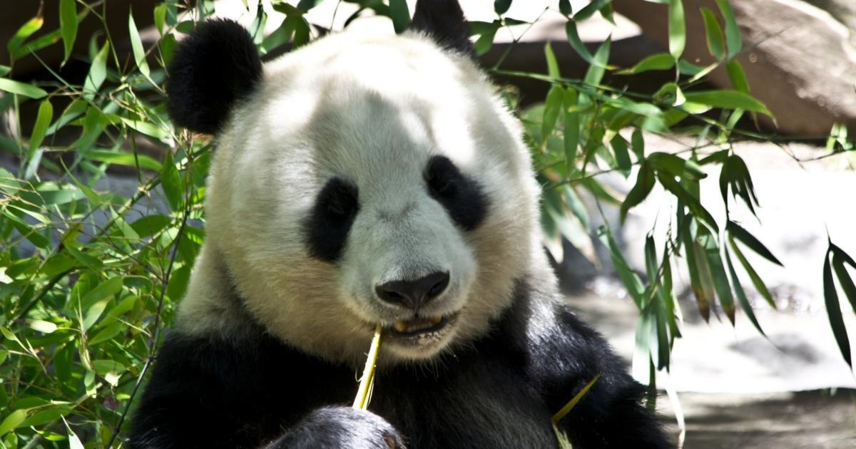 urso-panda