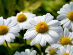 Flor margarida